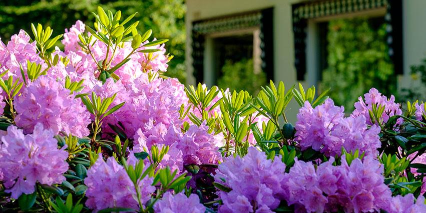 Rododendrons voor Anastasius
